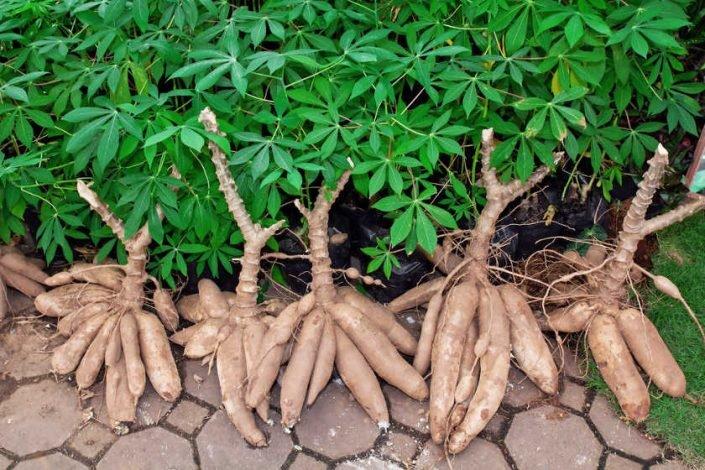 Projet de culture et commerce de manioc