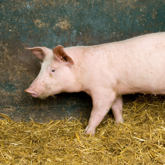 KODJI Agency - Idée de projet - Porciculture
